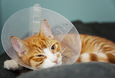 Cat with cone after surgery. Ginger cat with veterinairy cone after surgery Stock Photos