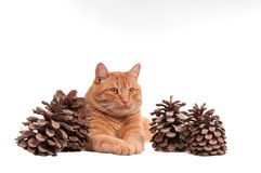 Cat and cones Stock Photo