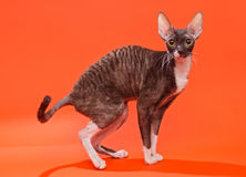 Cat Cornish Rex Arkivbild