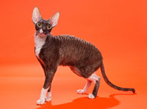 Cat Cornish Rex Royaltyfria Bilder