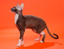Cat Cornish Rex Arkivfoton