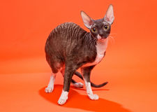 Cat Cornish Rex Arkivfoto