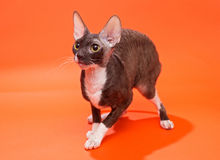 Cat Cornish Rex Arkivbilder