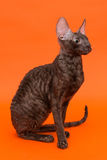 Cat Cornish Rex Royaltyfri Foto