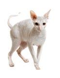 Cat of cornish rex breed Stock Photography