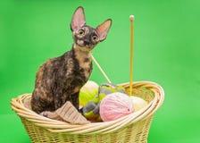 Cat Cornish Rex en la cesta fotografía de archivo libre de regalías