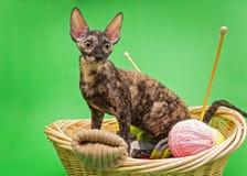 Cat Cornish Rex en la cesta imágenes de archivo libres de regalías