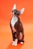 Cat Cornish Rex en un brillante imagenes de archivo