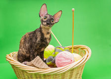 Cat Cornish Rex i korgen Royaltyfri Fotografi