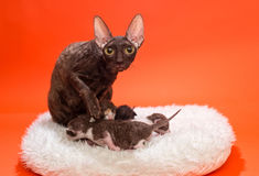 Cat Cornish Rex och kattungar Royaltyfria Foton