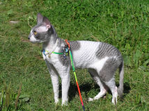 Cat cornish rex walking outdoors Royalty Free Stock Image