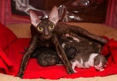 Cat Cornish Rex y gatitos fotos de archivo libres de regalías
