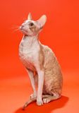 Cat Cornish Rex yellow colors Royalty Free Stock Images
