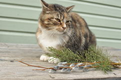 Cat in the cottage with pussy-willow and spruce branches Royalty Free Stock Images