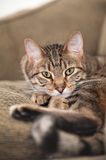 Cat on the couch Royalty Free Stock Images