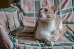 Cat on a couch. Peach cat on a couch Royalty Free Stock Image