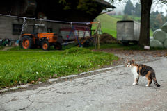 Cat in countryside. Cat is standing in swiss countryside stock images