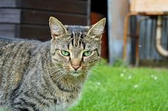 Cat. In the countryside looks like a tiger - beast royalty free stock photography