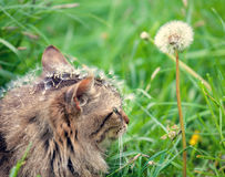 Cat covered with dandelion seeds Stock Image