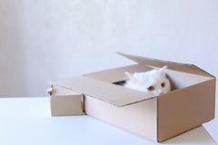 Cat Crawled Into The Box blanca grande y el sentarse dentro de él Imagen de archivo libre de regalías