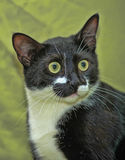 Cat with crazy eyes. Black and white cat with crazy eyes Royalty Free Stock Photo