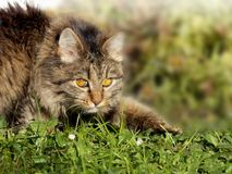 Cat creeps on grass Royalty Free Stock Photo