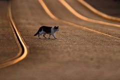 Cat Crossing Tram Lines At Sunset. A black and white cat crosses a double set of curved tram lines. The tram lines are illuminated in orange from the sunset Stock Photo