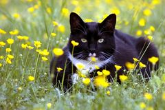 Cat Crouched in Flowers. This is a photograph of a cat crouching in a field of buttercups Stock Photos