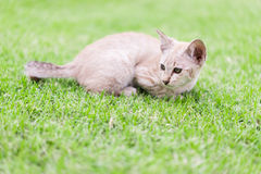 Cat crouching on the lawn. Royalty Free Stock Photos