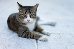 Cat crouching on the sidewalk field. Cat crouching on the sidewalk field in morning Royalty Free Stock Images