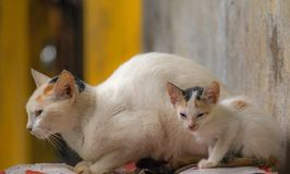 Cat and Cub. A look alike cat and her cub Stock Photography