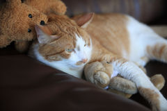 Cat cuddled up with teddy bears Stock Image