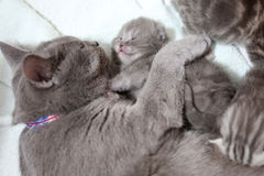 Cat cuddling her babies Stock Images