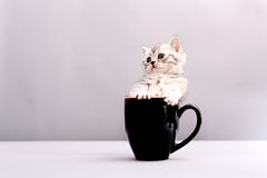 Cat in a cup Royalty Free Stock Images
