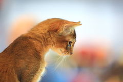 Cat. Curiosity royalty free stock image