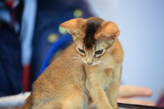 Cat. Curiosity royalty free stock photography