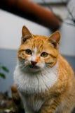 Cat_curious Stock Photography