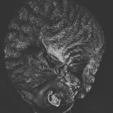 Cat curled up Stock Photography