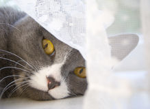 The cat and the curtain Stock Photo
