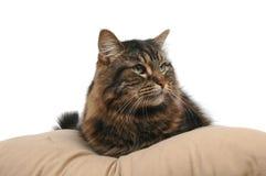 Cat on cushion 2. Cat on cushion close-up stock image
