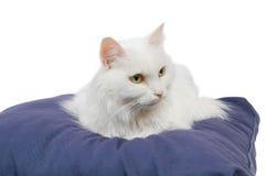 Cat on cushion 3 Royalty Free Stock Image