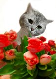 Cat Cut Animals , Greetings card ,Funny kitty With Red Flowers ,Women`s day tulip bouquet,greeting card ,spring Season Tulip. Cut Cat With Red Flowers ,Women`s royalty free stock photography