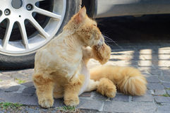 Cat that they cut the hair Royalty Free Stock Photography