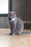 Cat with cute bow tie or collar Royalty Free Stock Photography
