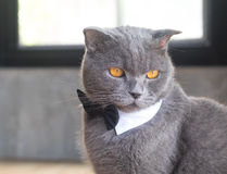 Cat with cute bow tie or collar Royalty Free Stock Photos