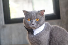 Cat with cute bow tie or collar Royalty Free Stock Images