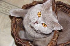Cat. Cute british cat in a basket Stock Photos