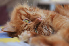Cat. Cute cat with brown fur royalty free stock images