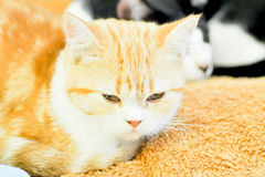 Cat. A cute cat on the cushion Royalty Free Stock Photo