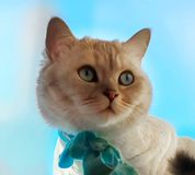 Cat Cute Funny British white grey Cats stock image